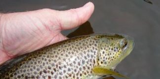 Brown Trout are one target that respond well to perfect presentation