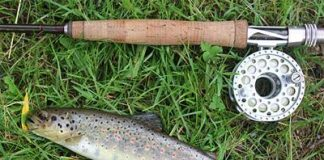 A beautiful wild trout from an Alpine river on the XF2+ three weight, and plume tip.