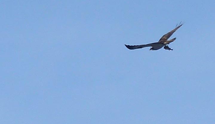 Ardanaiseig Osprey