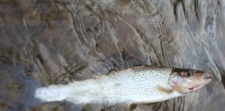 A hungry winter grayling caught fly fishing on the River Eden