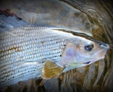 Grayling caught by the author fly fishing with a Pheasant Tail Nymph in the Czech nymphing style