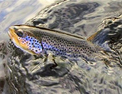 Brown trout succumb more readily to well presented dry flies
