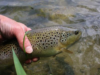 Returning a 2lb brown trout to the l'Aa