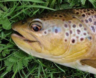 River Eden Brown trout