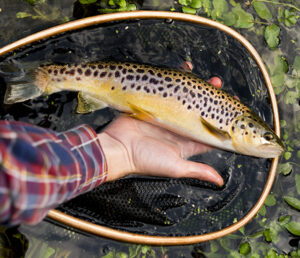 Superbly marked chalk stream brown trout