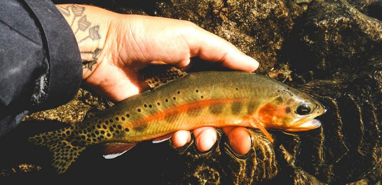 Californian Golden Trout - by Chase Bartee